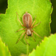 Small thick spider on green leaf — Stock Photo