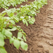 Crops - potatoes growing in rows — Stok fotoğraf