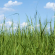 High dense grass against sky — Stock Photo
