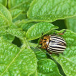Colorado bug on potato leaves — Stock Photo #3623778