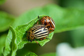 Wreckers of potato - Colorado bugs breed on leaves — Stock Photo