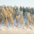 Frozen coniferous wood covered with snow — Stock Photo #3708606
