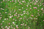 Meadow grown with blossoming clover — Stock Photo