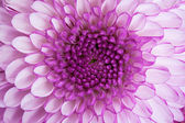 Close up - center of violet flower — Stock Photo
