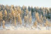 Bois de conifères gelé recouvert de neige — Photo