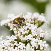 Mucha zjada na białe kwiatostany — Zdjęcie stockowe