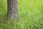 Trunk of a fur-tree in grass — Stock Photo