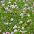 Meadow covered with flowering clover — Stock Photo