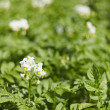 图库照片: Potatoes field - flowering period