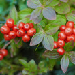 Cornus suecica - Bunchberry - Stock Photo