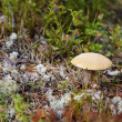 Mushroom among moss and lichen — Foto Stock