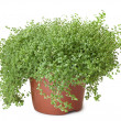 Potted green plant on white background - Soleirolia - Stock Photo