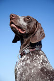 Hunting dog on blue sky — Stock Photo