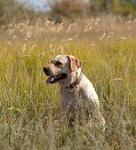 Labrador retriever in grass — Stock Photo