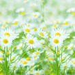 Camomile — Stock Photo #2786590