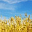Wheat — Stock Photo #2786670