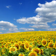 Sunflower field — Stock Photo #2787648