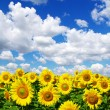 Sunflower field - Stock fotografie
