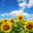 Sunflower field — Stock Photo #3127296