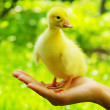 Gosling in hand — Stock Photo #3127344