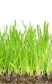 Grass on white — Stock Photo