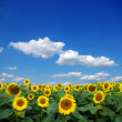 Sunflower field - 图库照片