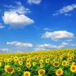 Sunflower field - Stockfoto