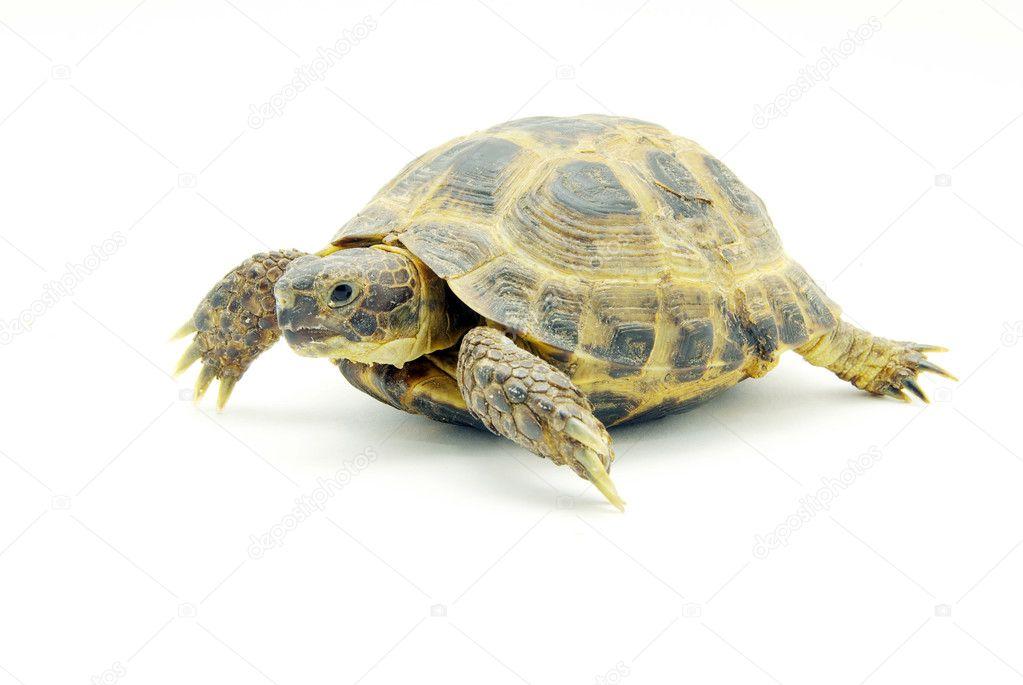 爬行动物龟上白色隔离— 照片作者 pakhnyushchyy
