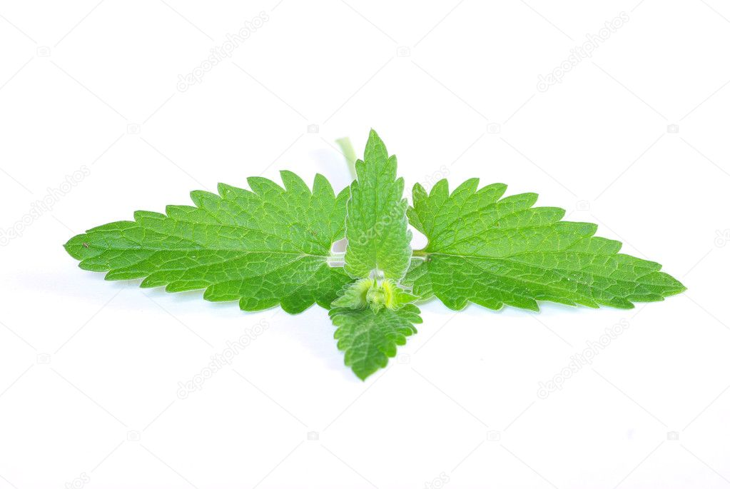 Green mint isolated on white background — Stock Photo #3382219