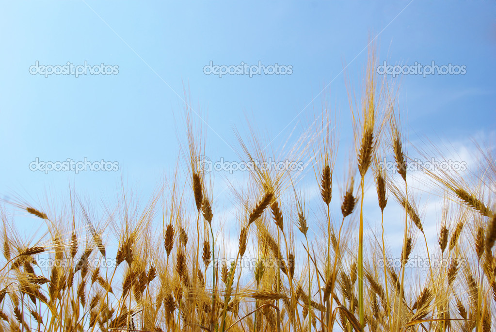 Wheat ears against the blue  sky — Stock Photo #3382246