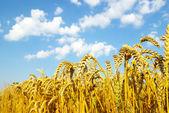 пшеница — Стоковое фото