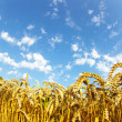 Wheat over sky — Stock Photo