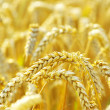 Wheat — Stock Photo #3601842