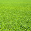 Grass — Stock Photo #3690744