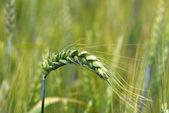 Green wheat — Stockfoto