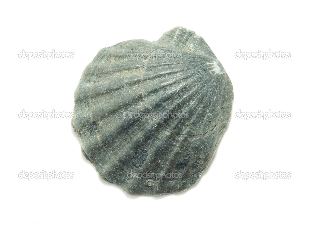 Sea shell  isolated on white background  Stock Photo #3690084