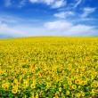 Sunflower field — Stock Photo #3750074