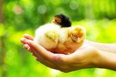 Tavuk — Stok fotoğraf
