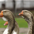 Brown goose group — Stock Photo