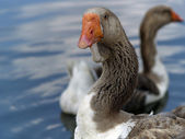Brown goose group ner water — Stock Photo