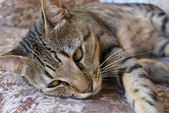 Cat lying down — Stock Photo