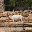 The mountain goat - Stock Photo