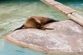 Fur seal — Stock Photo