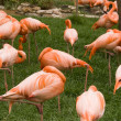 The group of flamingos at the zoo - Stock Photo