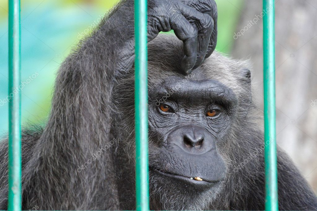 The image of sad chimpanzee scratching her head — Stock Photo #3477817