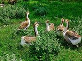 Un troupeau d'oies domestiques — Photo