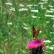 Stock Photo: Butterfly Argynnis Aglaja