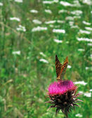 Butterfly Argynnis Aglaja — Stock Photo