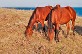 Grazing horses — Photo