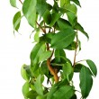 Ficus — Stock Photo #3165057